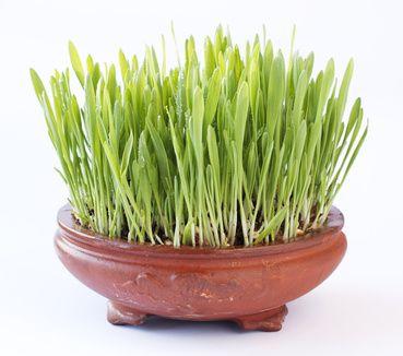 Gerstengras – Ein Superfood das reich an Vitalstoffen und Mineralstoffen ist. Welche Wirkungen hat Gerstengras ?
