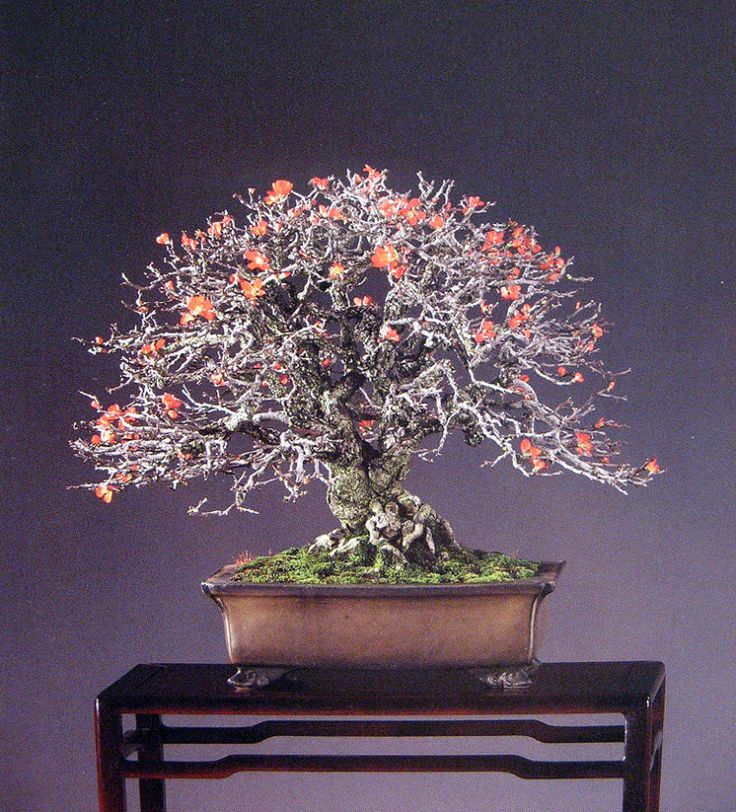 This unassuming dwarf quince can steal your heart. There are many who have gone to Japan for the spectacular pines, junipers, and maples, only to discover the quiet but memorable Chojubai. Those &#…