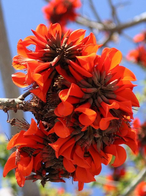 Gorgeous Flower - Kaffir Coral Tree (Erythrina caffra) by Lance and Erin, via Flickr  -- the tree loses it's leaves in winter, and the flowers appear in spring, followed by the leaves.