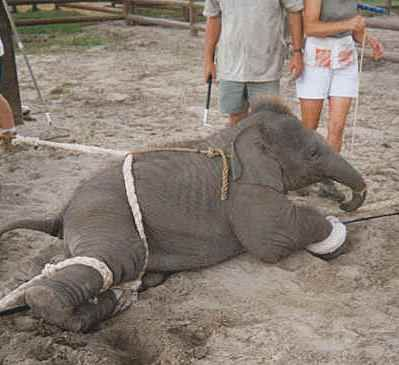 Ringling Bros. Circus Training a baby elephant  BOYCOTT RINGLING AND ANY OTHER CIRCUS.