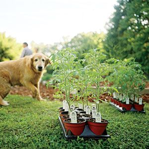 Tomato Growing Guide | CookingLight.com
