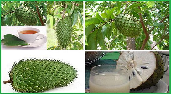 Graviola, also known as soursop, Brazilian paw paw, guanabana and custard apple, is a plant that grows in South America, Southeast Asia and Africa. What make this fruit wonderful is its seeds, which are found to be extreme sweet with a slight acidic flavor. Another thing about this plant is that is pulp is very […]