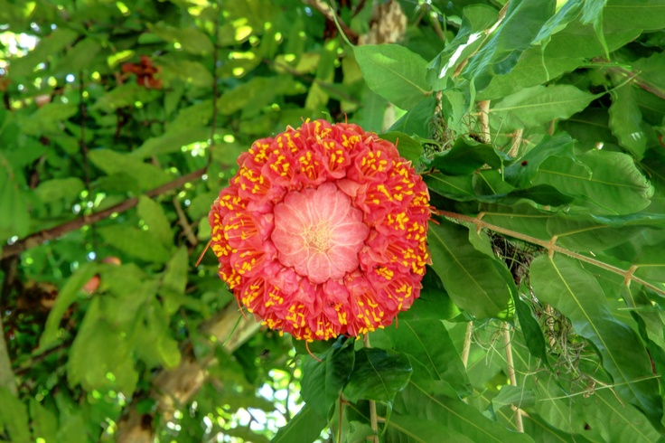 Rosa da Montanha (Brownea Grandiceps) Amazônia, Brasil