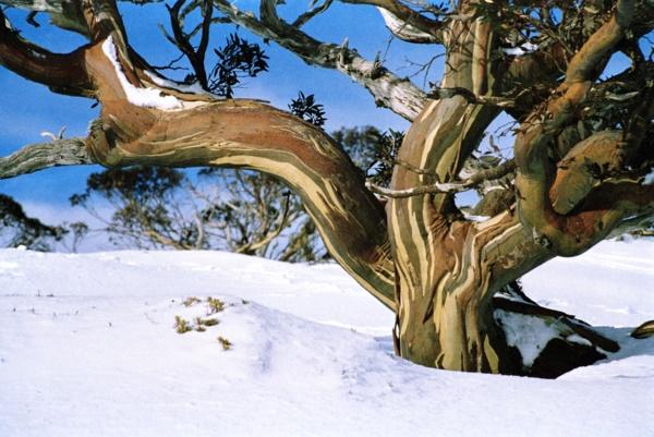 AU-08 Snow Gum Kosciusko.jpg (600×401)