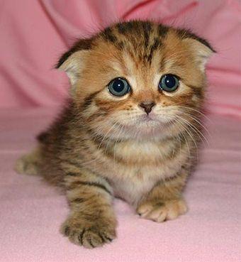 omg this is so cute (scottish fold kitten)
