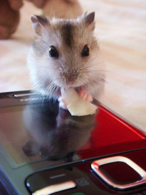 Wilson, bebe. #hamster #lovelyhamster