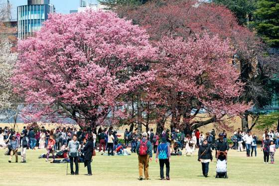 First Japanese Cherry Blossom in Tokyo brings out the crowds, Tokyo, Japan - 29 Mar 2016 The first J... - Paul Brown/REX/Shutterstock/Rex Images