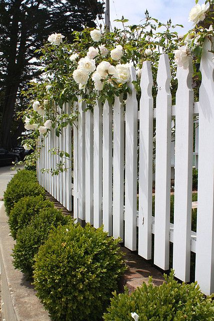 White picket, roses and boxwood. love growing roses next to fence, such a charming look