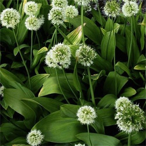 Seiersløk   Allium victorialis : Hvite blomster i kuleformede hoder. Dekorative blad. Spiselig. Svært lettstelt og hardfør. Blomstringsperiode: juni Høyde: 30 cm