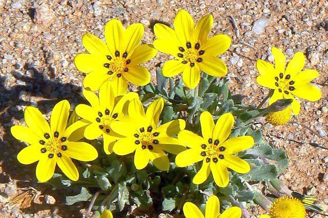Yellow Gazania Gazania lichtensteinii (Botterblom, Kougoed), Richtersveld National Park