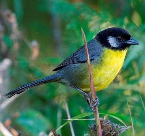 Santa Marta Brush Finch, Atlapetes melanocephalus, sparrow family: El Dorado Bird Reserve, Colombia