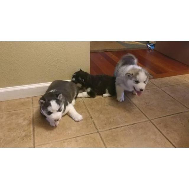 Siberian Husky Buffalo 6 Husky Puppies For Sale 3 Male 3 Female