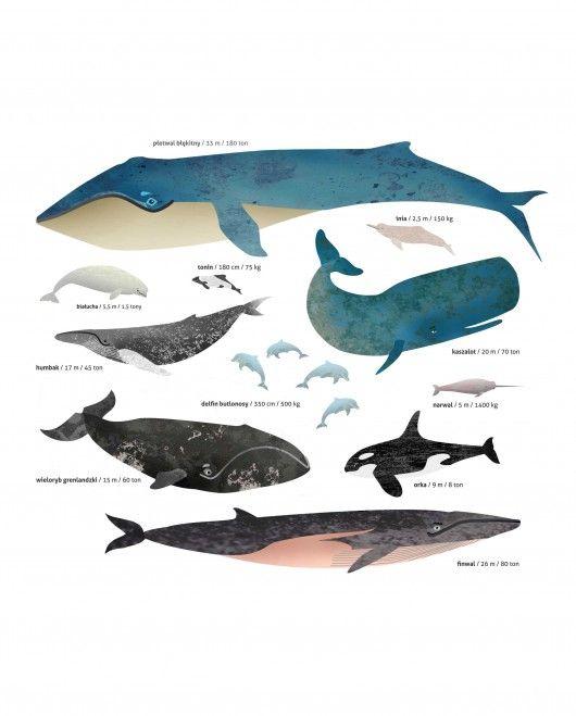 Dla małego odkrywcy, przyszłego podróżnika lub miłośnika zwierząt! plakat edukacyjny prezentujący najciekawsze ssaki morskie. Każde zwierze jest podpisane, umieszczona jest również informacja o jego wadze i długości, dzięki temu piękna dekoracja pokoju staje się też pomocą naukow...