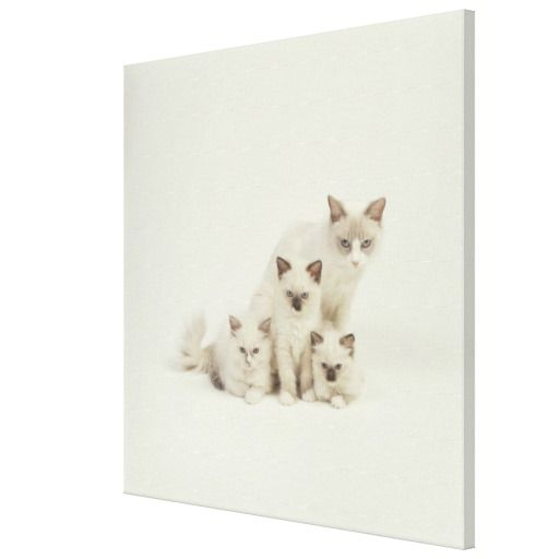 =>>Cheap          Ragdoll cat female with kittens canvas prints           Ragdoll cat female with kittens canvas prints in each seller & make purchase online for cheap. Choose the best price and best promotion as you thing Secure Checkout you can trust Buy bestThis Deals          Ragdoll ca...Cleck Hot Deals >>> http://www.zazzle.com/ragdoll_cat_female_with_kittens_canvas_prints-192937950205064725?rf=238627982471231924&zbar=1&tc=terrest