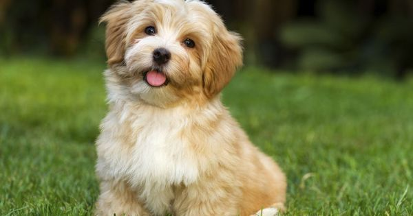 Dogspuppiesforsalecom liked | The Havanese is described as outgoing funny and intelligent. Their signature cheerful springy gait equally matches their happy-go-lucky personality. Here are 10 things that every Havanese owner can relate to. Getting a dog or a puppy as a new addition to your family is an excellent decision! You're adding another member that can provide lots of love and enjoyment! This is a relationship you'd want to make sure that you're doing right the first time around…
