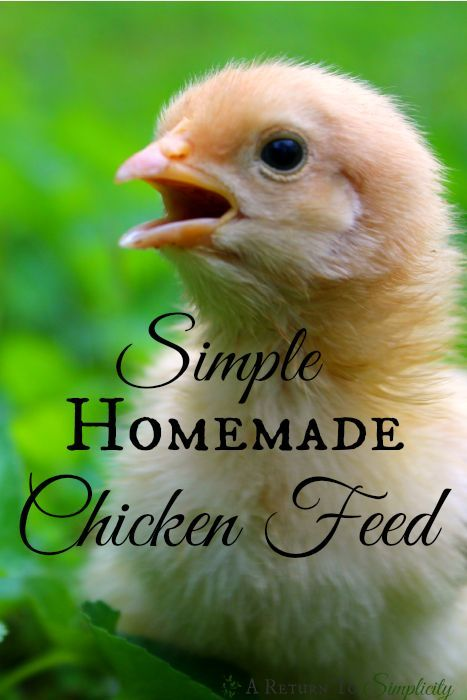 Looking for an alternative to expensive and musty bags of commercial grain mix for your chickens? Here is a permaculture approach to homemade chicken feed that you and your budget will love! | areturntosimplicity.com
