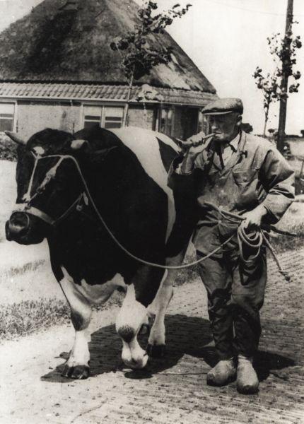 Een bulloper. Hij ging met de stier langs boerderijen waar een koe gedekt moest worden
