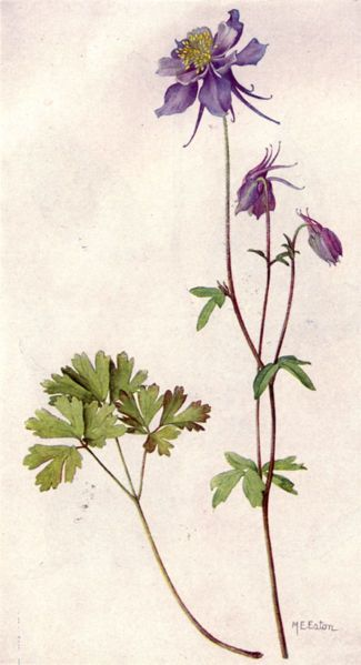Blue Columbine by Mary E. Eaton from National Geographic Magazine (June 1917).