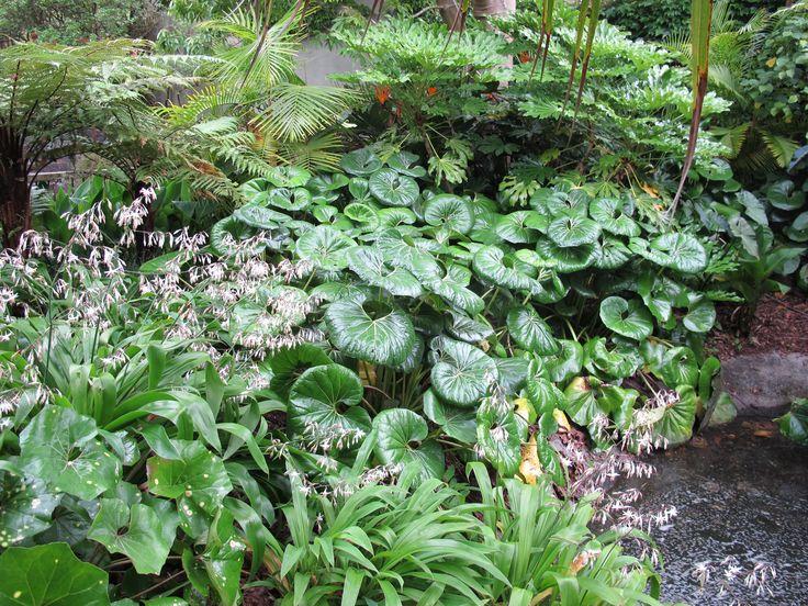 Arthropodium cirratum (rengarenga lily) and Ligularia reniformis
