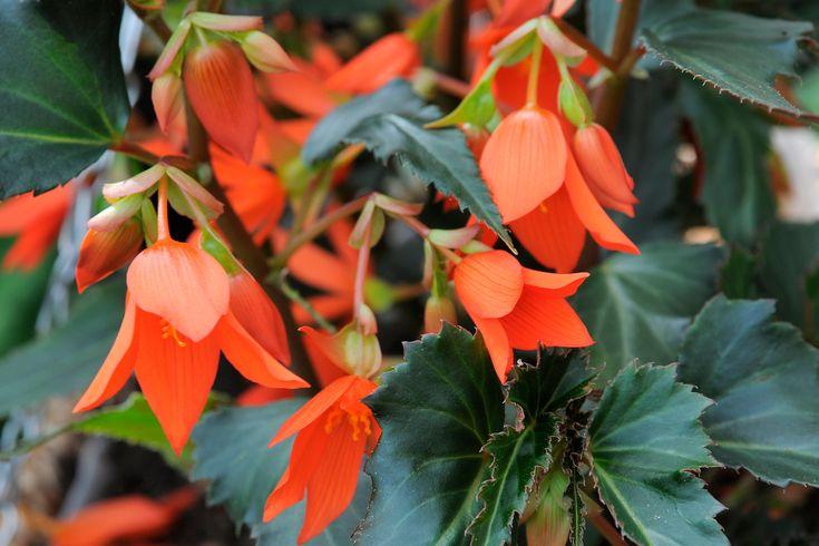 Plant profile of Begonia boliviensis 'Crackling Fire Orange' on gardenersworld.com