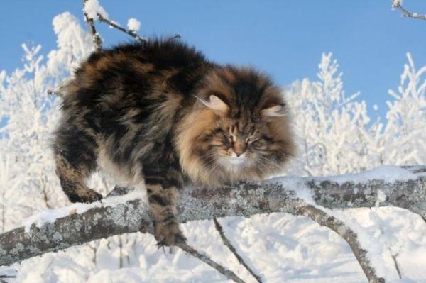 siberische kat