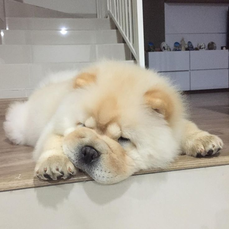 Extrêmement 1102 best Chow Chows images on Pinterest   Chow chow, Puppies and  VJ62