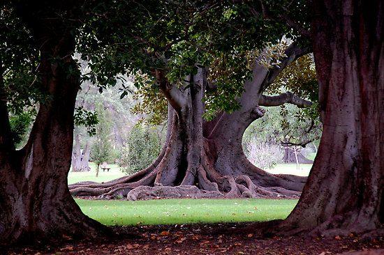 Moreton bay fig adelaide botanic gardens by patapping for Garden trees adelaide