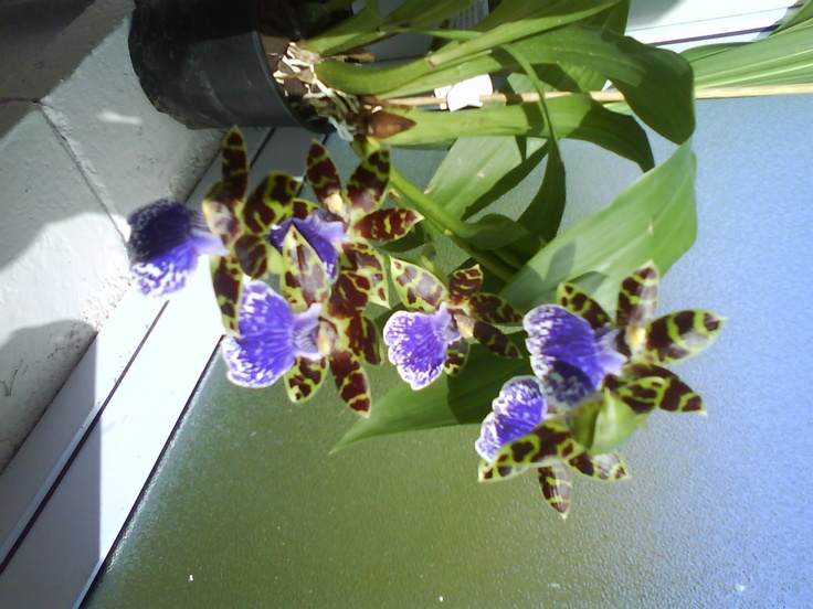 My Zygopatalium Scented Orchid