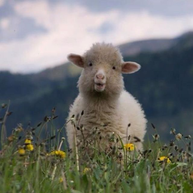 76 best God's smiles images on Pinterest | Sheep drawing ...