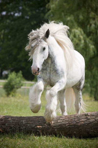'Tinker Samira ~ Christiane Slawik'  Another name for Gypsy Horses is a Tinker Horse, in Ireland.