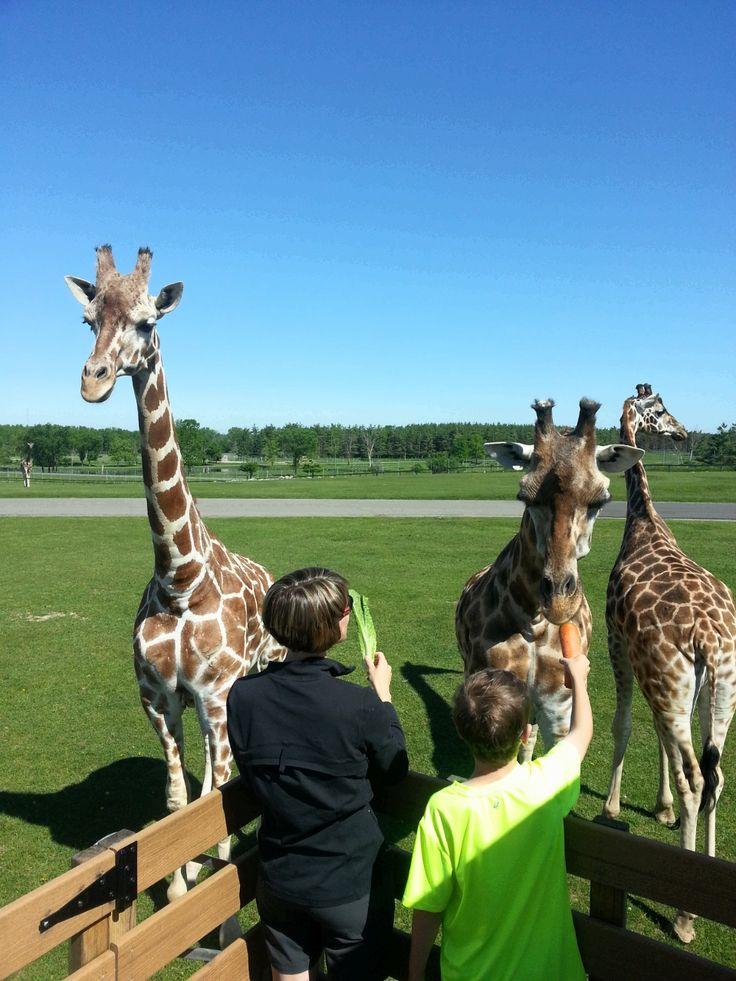 Hand feeding Giraffe before the park opens! #africanlionsafari #behindthescenes #giraffe