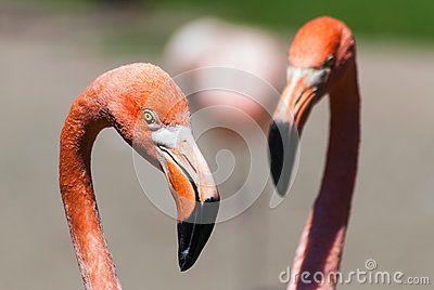 Phoenicopterus ruber ruber, American flamingo, Caribbean Flamingo pair head deatil