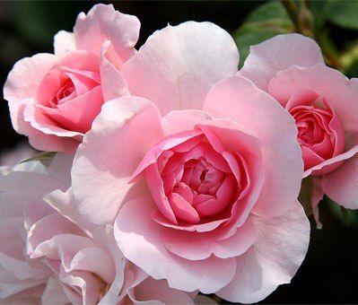 Размножение и посадка роз черенками