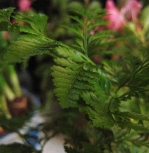 Care of Rabbit's Foot Ferns