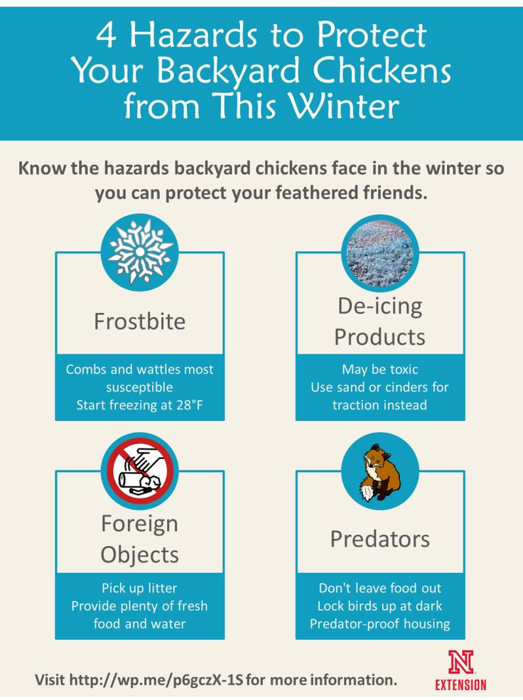 Know the hazards backyard chickens face in the winter so you can protect your feathered friends. #NebExt