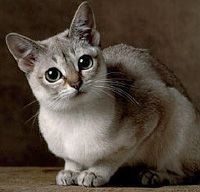 Singapura - The Singapura is a small, shorthaired cat distinguished by its large eyes and its unusual warm beige colored and brown ticked coat.  It is the smallest of the cat breeds.