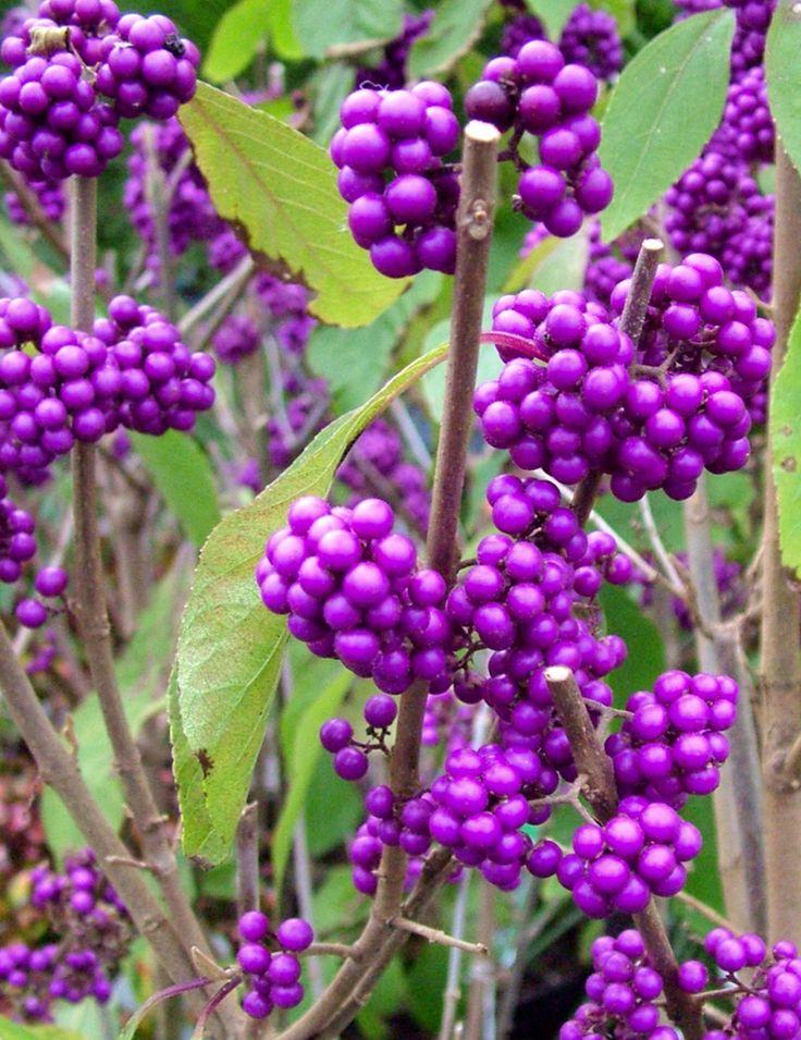 Purple berries of Callicarpa Profusin. Great winter berried plant for the #garden