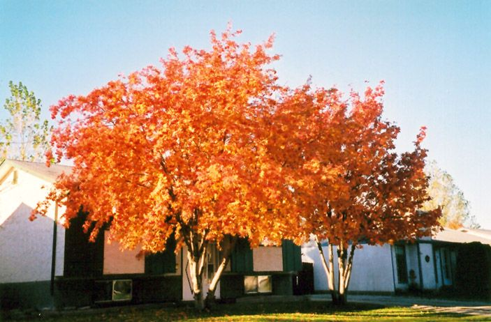 Sorbus Americana American Mountain Ash 25 ft Hardy to Zone 2a Fall foliage is fiery orange then red.