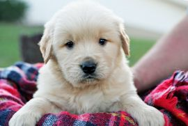 At My Golden Retriever Puppies, we believe that no family is complete without a Golden Retriever. It's the right way to grow up.