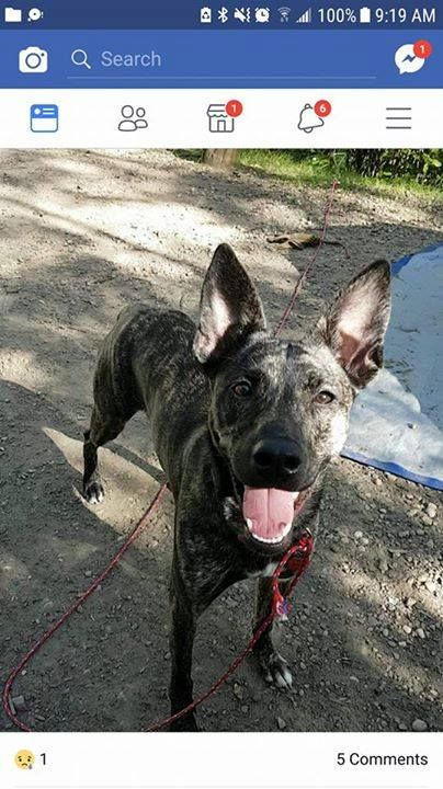 """LOST: Mottled black dog in #Strathmore. Call Shauna: 403 499 9728. """"Chloe"""" Pls RT share. If spotted PLS DO NOT CHASE.  Update: Heidiho Durm Someone saw her at 9 this morning in the vacant lot 3 centre st and tried calling her but she ran south YYC Pet Recovery shared Heidiho Durm's post. If anyone sees chloe around Strathmore please let me know where. She got out of the house and theres people out looking for her. Shes scared of most people so she wont go to anyone she doesnt know. Reposting…"""
