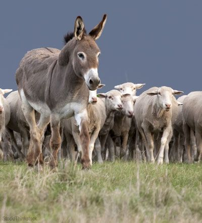 Coyotes and dogs had been a major problem at the University of Rhode Island's Peckham Farm, home to a prize-winning flock of Dorset sheep. Then the university bought Bonnie, a guard donkey.