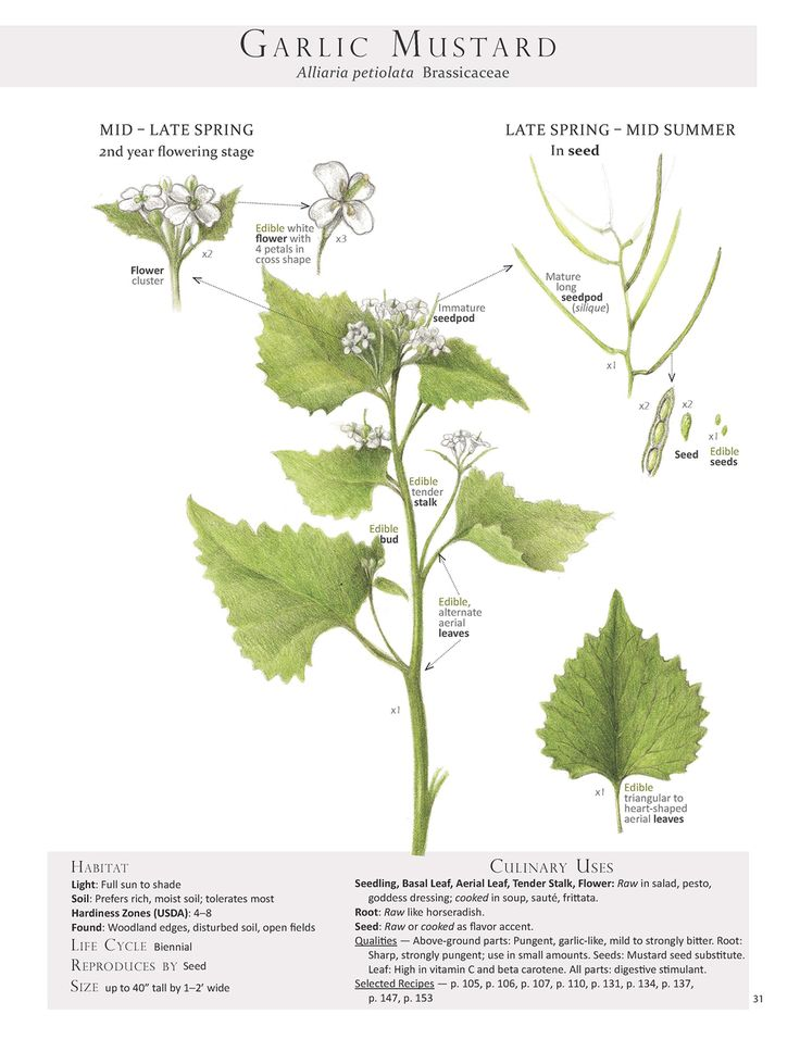 Garlic Mustard Plant Identification pagefrom our book Foraging & Feasting: A Field Guide and Wild Food Cookbook by Dina Falconi; illustrated by Wendy Hollender.http://bit.ly/1Auh44Q