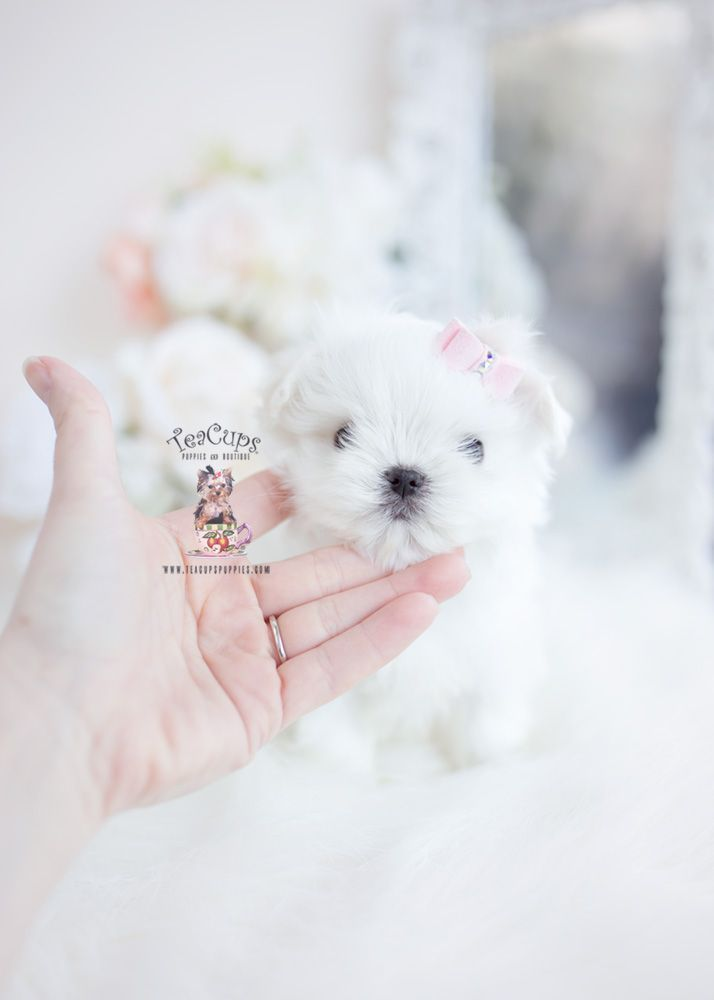 Maltese Puppy For Sale Teacup Puppies 115 F Cuteteacuppuppies