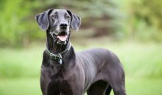 Everything you want to know about Great Danes including grooming, training, health problems, history, adoption, finding good breeder and more.