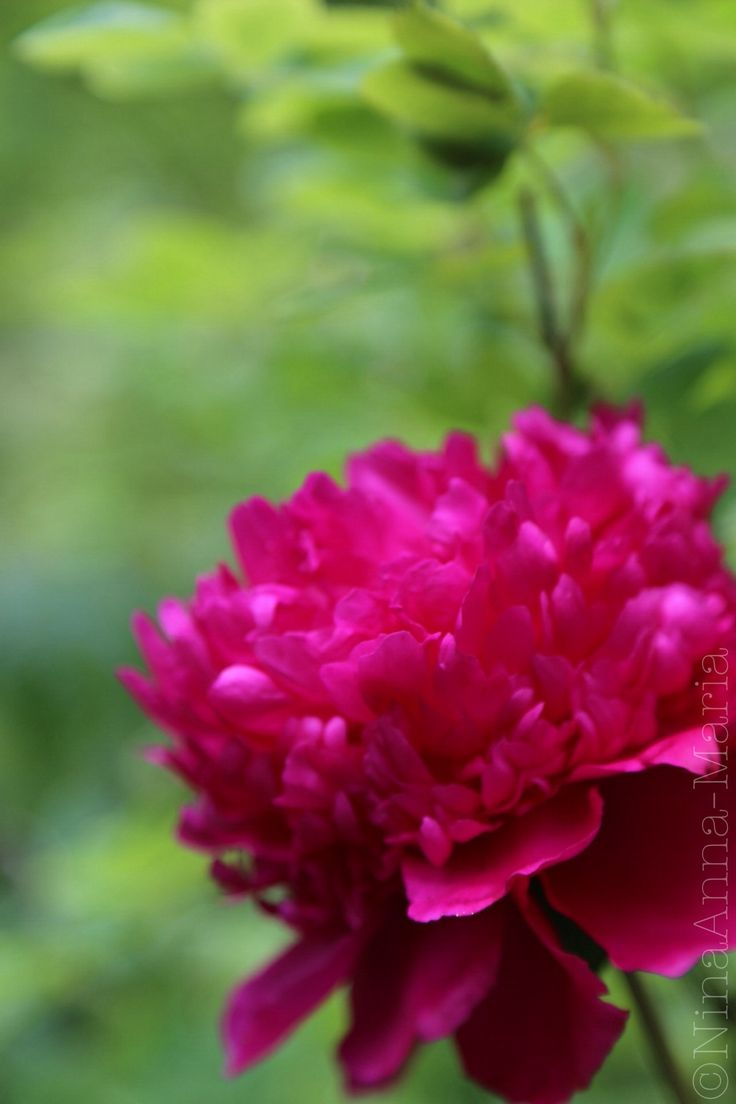 A purple peony in all its glory