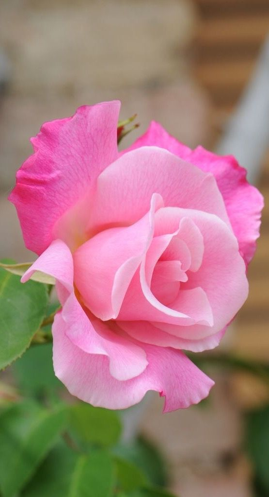 beautiful pink flowers 3341 best roses my lve images on pinterest flowers beautiful