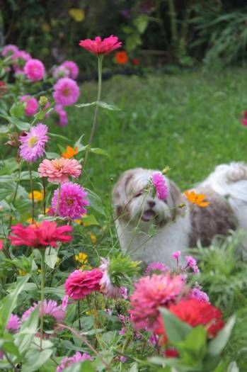 SUSHI S. - UNITED STATES ΕΚΠΡΟΣΩΠΟΣ ΤΗΣ ΕΛΛΑΔΑΣ My name is Sushi. I am a shihzu/toy poodle. I spent my summer in Greece. In the photo above I am in my Yia yias garden living the life.
