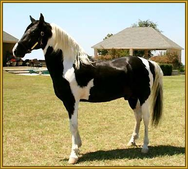 Tennessee Walking Horse | ... Tennessee Walking Horse stallion, ROCK WITH PRIDE #942654 is for sale