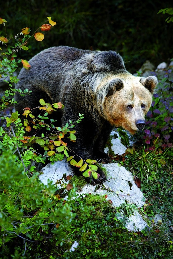Bear at Proaza. Asturias They has been hunted for years and years. There are so few. :(