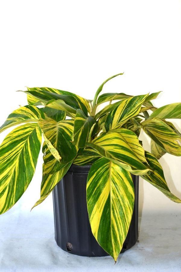Alpinia Zerumbet Variegata Shell Ginger Variegated No Ship To Ca Az Perfect Plants Herbaceous Perennials House Plant Care